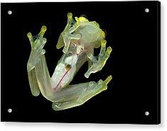 Northern Glassfrog Hyalinobatrachium Acrylic Print by Thomas Marent