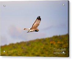 Northern Harrier Flight Acrylic Print by Mike  Dawson