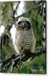 Northern Hawk Owl Fledgeling Acrylic Print by Doug Herr