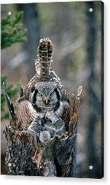 Northern Hawk Owl Surnia Ulula Parent Acrylic Print