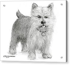 Acrylic Print featuring the drawing Norwich Terrier by Jim Hubbard