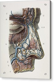 Nose Nerves And Vessels, 1844 Artwork Acrylic Print by