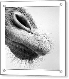Nose Acrylic Print by Photo by Jaap Verhoeven - www.jaapverhoeven.nl