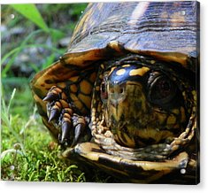 Acrylic Print featuring the photograph Nosey Turtle by Chad and Stacey Hall