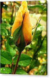 November Rose Acrylic Print