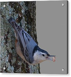 Acrylic Print featuring the photograph Nuthatch by Brian Stevens
