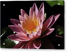 Nymphaea 'sunny Pink' Acrylic Print
