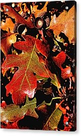 Oak Colors Acrylic Print by Darryl Gallegos