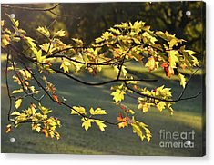 Oak Leaves In The Sunlight Acrylic Print by Bruno Santoro