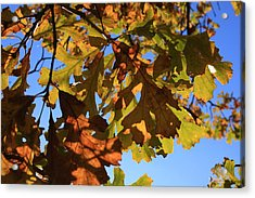 Oak Leaves With Backlighting Acrylic Print by Lyle Hatch