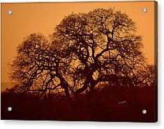 Acrylic Print featuring the photograph Oak Tree At Sunset by Rima Biswas