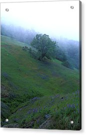 Oak With Lupine In Fog Acrylic Print by Kathy Yates
