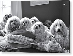 Obedience School For Dogs Acrylic Print by Lisa  DiFruscio