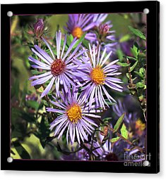 Odd Aster Out Acrylic Print by Darleen Stry