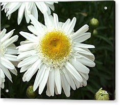 Acrylic Print featuring the photograph Oh Daisy by Carol Sweetwood