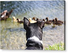 Oh He Wants To Play With Ducks Acrylic Print by Andrea  OConnell