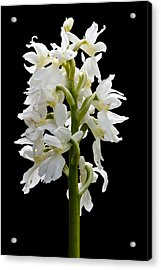 O'kelly's Spotted Orchid Acrylic Print by Rob Hemphill
