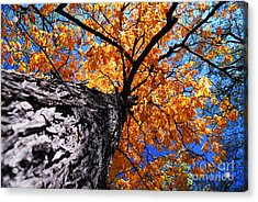 Old Elm Tree In The Fall Acrylic Print by Elena Elisseeva