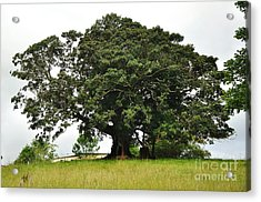 Old Fig Tree - Ficus Carica Acrylic Print by Kaye Menner