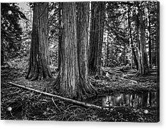 Old Growth Cedar Trees - Montana Acrylic Print by Daniel Hagerman