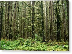 Old Growth Forest In The Hoh Rain Acrylic Print by Natural Selection Craig Tuttle