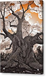 Old Japanese Maple Acrylic Print by Steve Zimic