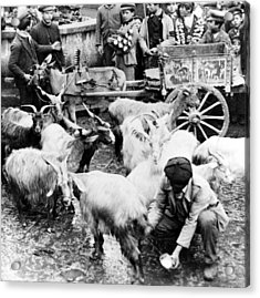 Old Palermo Sicily - Goats Being Milked At A Market Acrylic Print by International  Images
