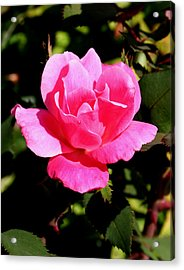 Old Towne Rose2 Acrylic Print
