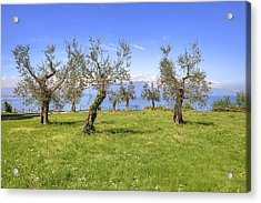 olive grove on Lake Gardan Acrylic Print by Joana Kruse