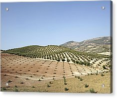 Olive Groves Acrylic Print by Carlos Dominguez