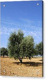Olive Tree In Provence Acrylic Print by Bernard Jaubert