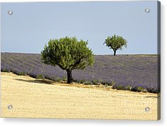 Olives Tree In Provence Acrylic Print by Bernard Jaubert