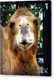 Omar The Camel Acrylic Print by Lainie Wrightson