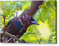 Ominous Molting Grackle Acrylic Print by Bill Tiepelman