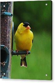 One Finch Acrylic Print by Vijay Sharon Govender