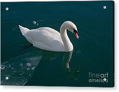 One Swan A-swimming Acrylic Print