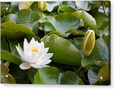 Open And Closed Water Lily Acrylic Print by Semmick Photo