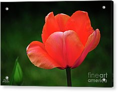 Opened Red Acrylic Print by Diego Re