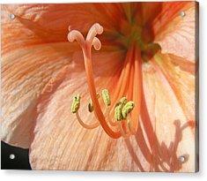Orange Amaryllis Acrylic Print by Mary Lane
