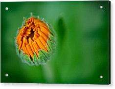 Orange Bloom Acrylic Print