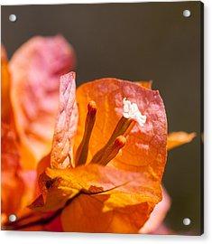 orange Bougainvillea Acrylic Print by Ralf Kaiser