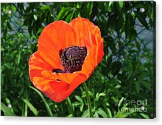 Orange Burst Acrylic Print by Luke Moore