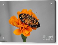 Orange Butterfly 1 Acrylic Print