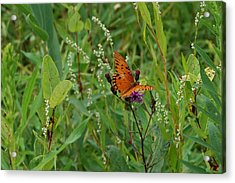 Orange Butterfly Acrylic Print by Beverly Hammond