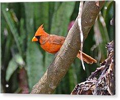 Orange Cardinal Acrylic Print by Carol  Bradley