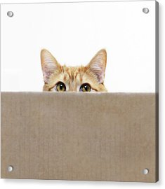 Orange Cat Peeping Out From Cardboard Box Acrylic Print by Kevin Steele