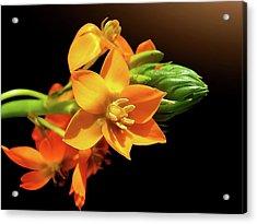 Orange Chincherinchee Acrylic Print by Gitpix