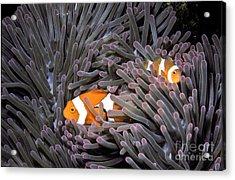 Orange Clownfish In An Anemone Acrylic Print by Greg Dimijian