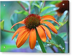 Orange Coneflower Acrylic Print by Becky Lodes