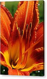 Orange Daylily Acrylic Print by Bruce Bley